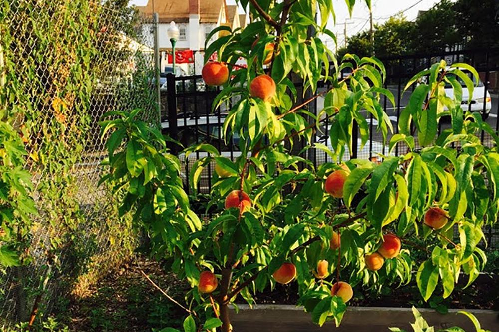 A peachy summer at Fairgate Farm