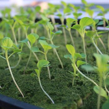 Fairgate Farm romaine seedlings